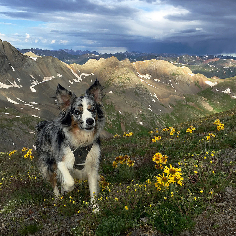 Kangaroo the Dog Wildflowers Handies Peak